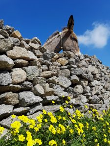 A donkey standing behind an old stone wall. Some yellow flowers at the bottom of the wall.