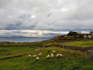 A herd of sheep grazing on the grass somewhere on the island of Mykonos on a cloudy day.