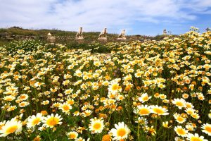 A large field filled with lots of daisies against a deep blue sky, somewhere in Mykonos island.
